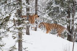 Sibirischer Tiger_IG34785