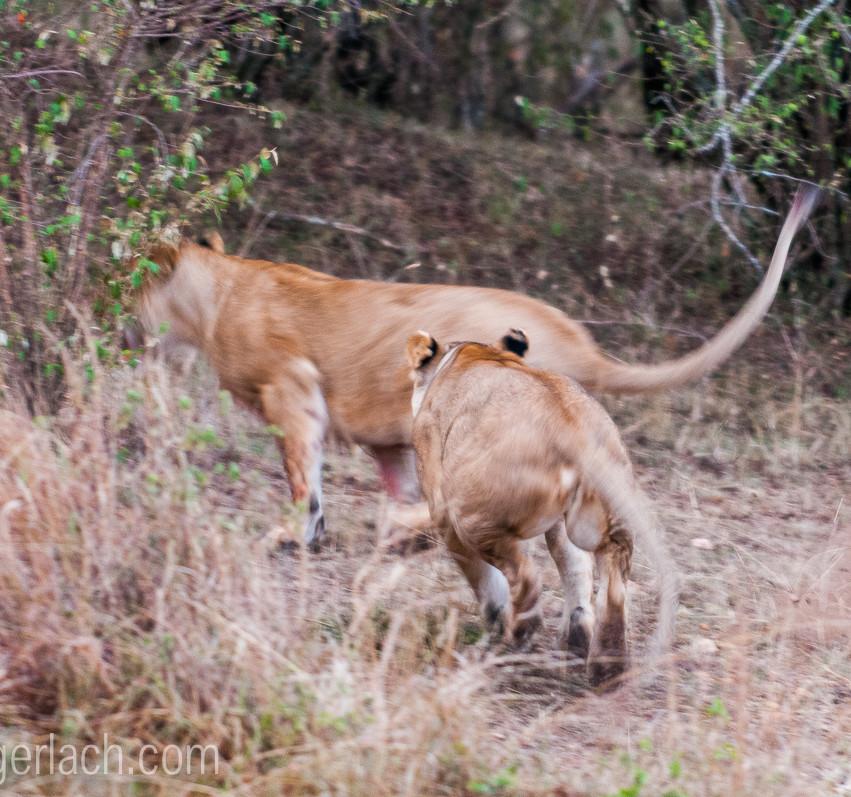 Löwin attackiert Löwin_IGB2597