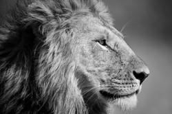 The Lionking...
