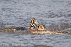 Krokodil killt Zebra__D725254