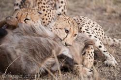 Geparden auf Jagd_IG37655