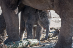 Baby_elephant_Zoo_Cologne_D50_2852