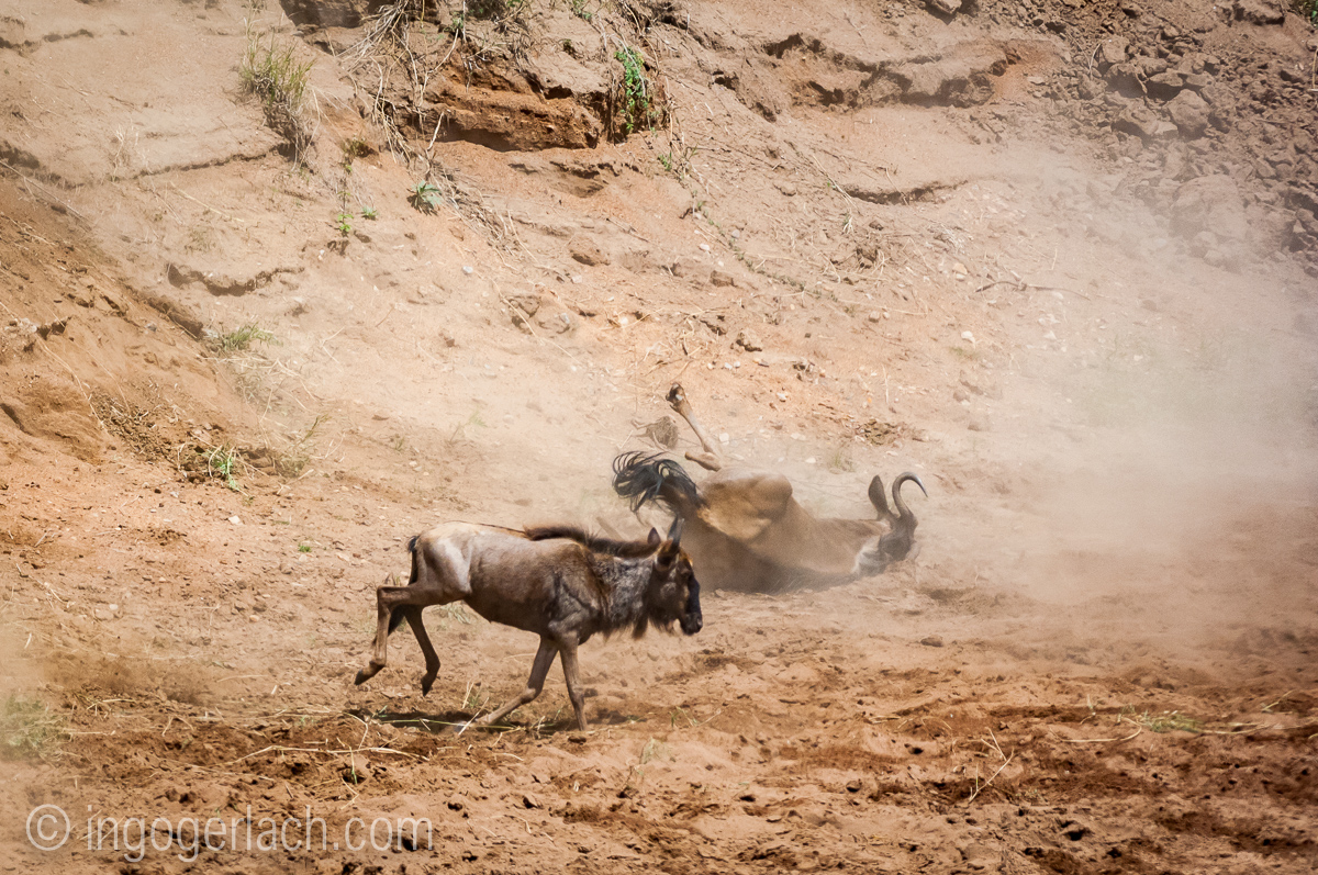 wildebeest jump to death_IWG4287