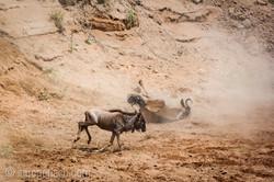 wildebeest jump to death_IWG4287