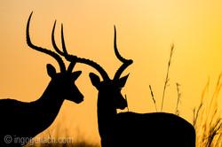 Impala at sunrise_D4N_2730