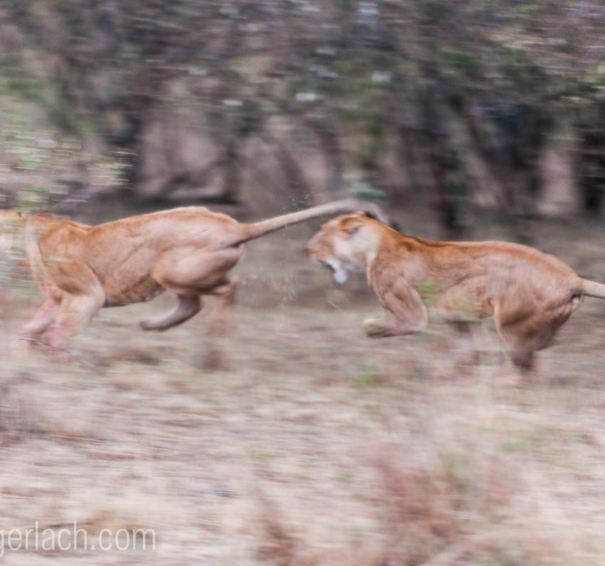 Löwin attackiert Löwin_IGB2602