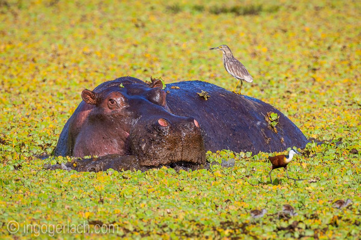 Flusspferd im Salat_IWG0065