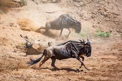 wildebeest jump to death_IWG4291