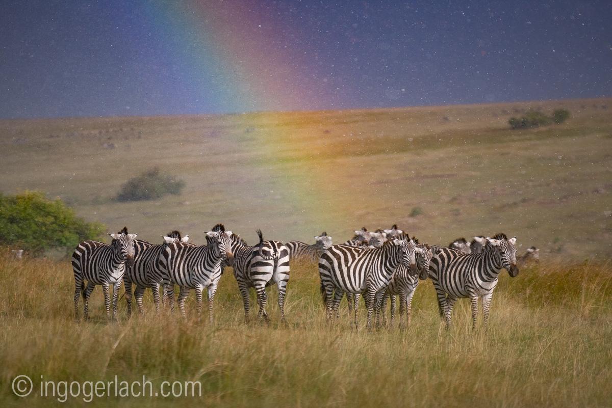 Over the Rainbow_Zebra_rain_IG7_3798