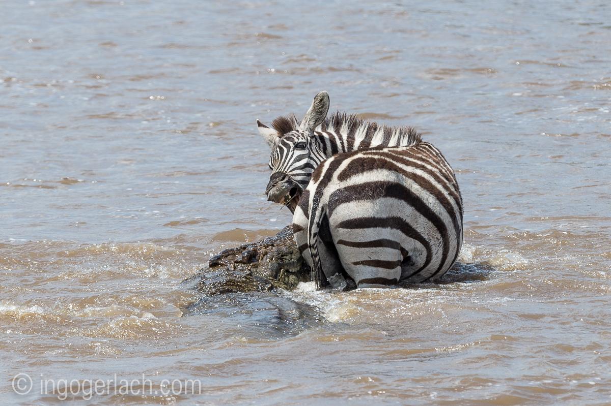 Krokodil killt Zebra_D4N_4652