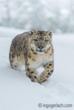 Schneeleopard_Snowleopard_IG7_1381