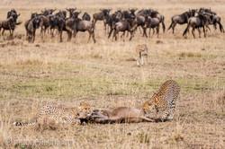 Geparden auf Jagd_IG37623