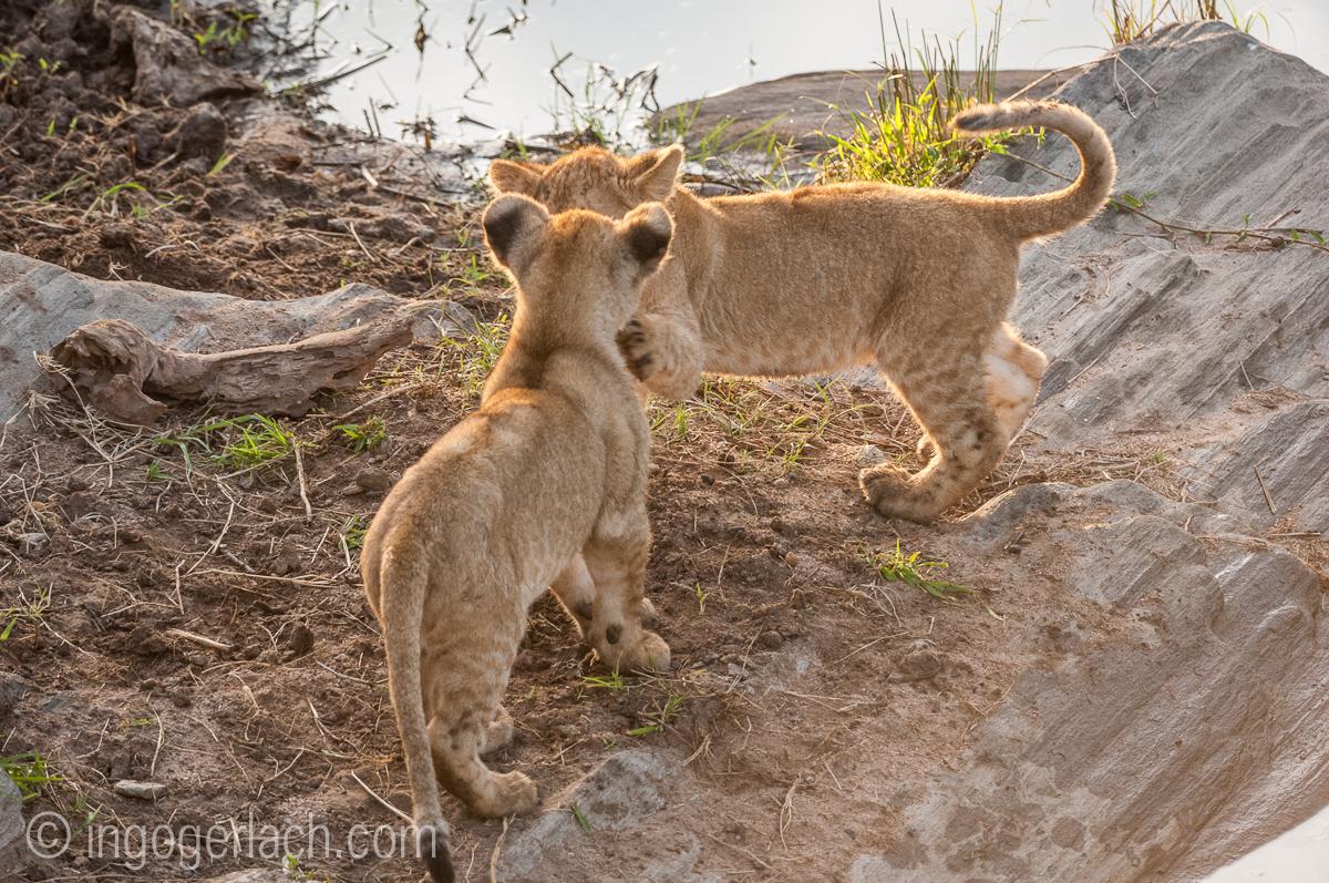 Der Mut der kleinen Löwen_IWG4455