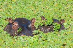 Flusspferd im Salat_IWG0542
