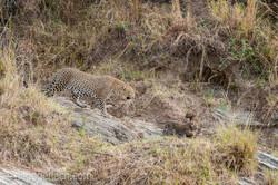Mama Leopard mit ihren Babys_IG35710