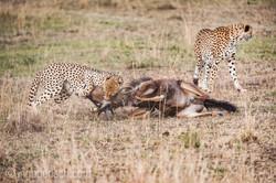 Geparden auf Jagd_IG37605