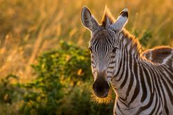Zebra © Ingo Gerlach_D8N6283