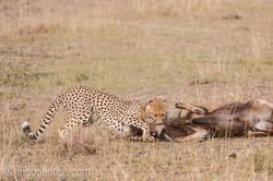 Geparden auf Jagd_IG37607