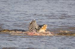 Krokodil killt Zebra__D725252