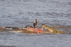 Krokodil killt Zebra__D725249
