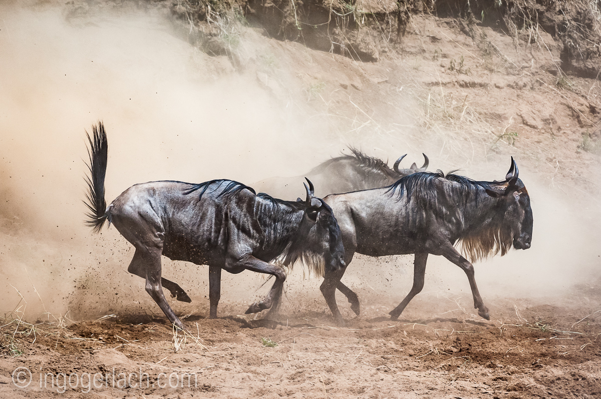 wildebeest jump to death_IWG4346