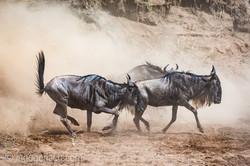 wildebeest jump to death_IWG4346