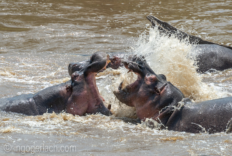 Der Kampf der Hippobullen. The fight of the Hippobulls.