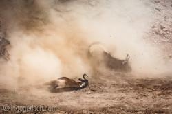 wildebeest jump to death_IWG4303
