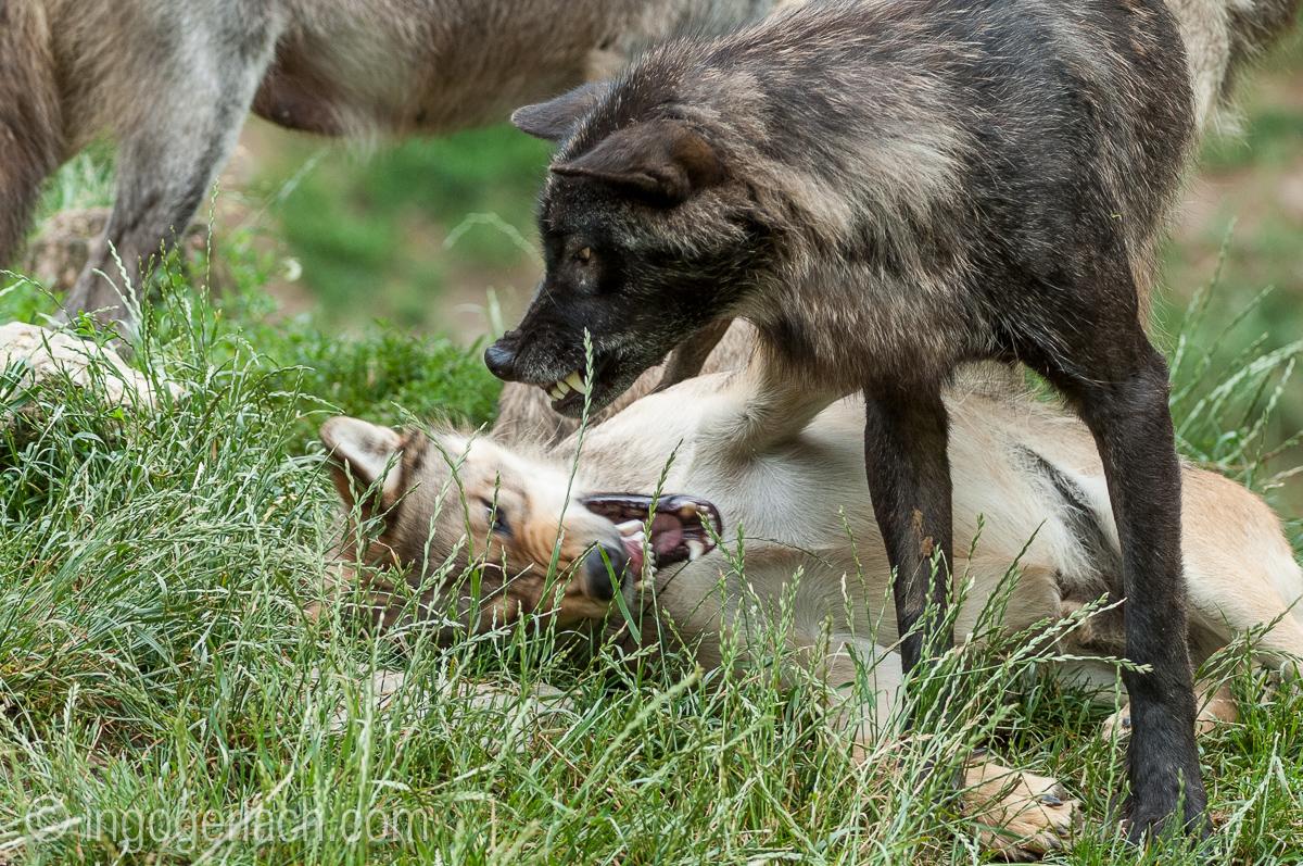Timberwolf und Grauwolf_IGB8001