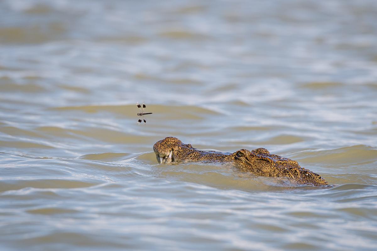 Krokodil © Ingo Gerlach_D4N_0190