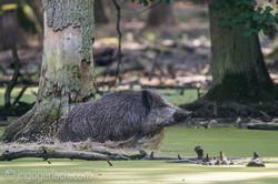 Wildschwein im Wasser_D8N2919