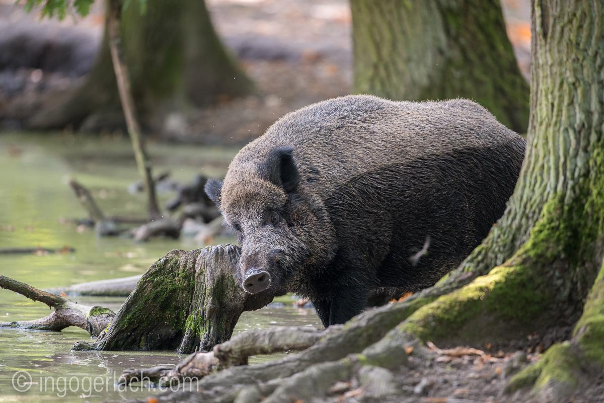 Wildschwein im Wasser_D8N2772