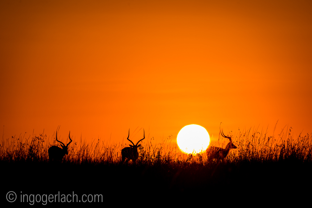 Impala at sunrise_D4N_2636