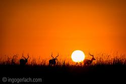 Impala at sunrise_D4N_2636