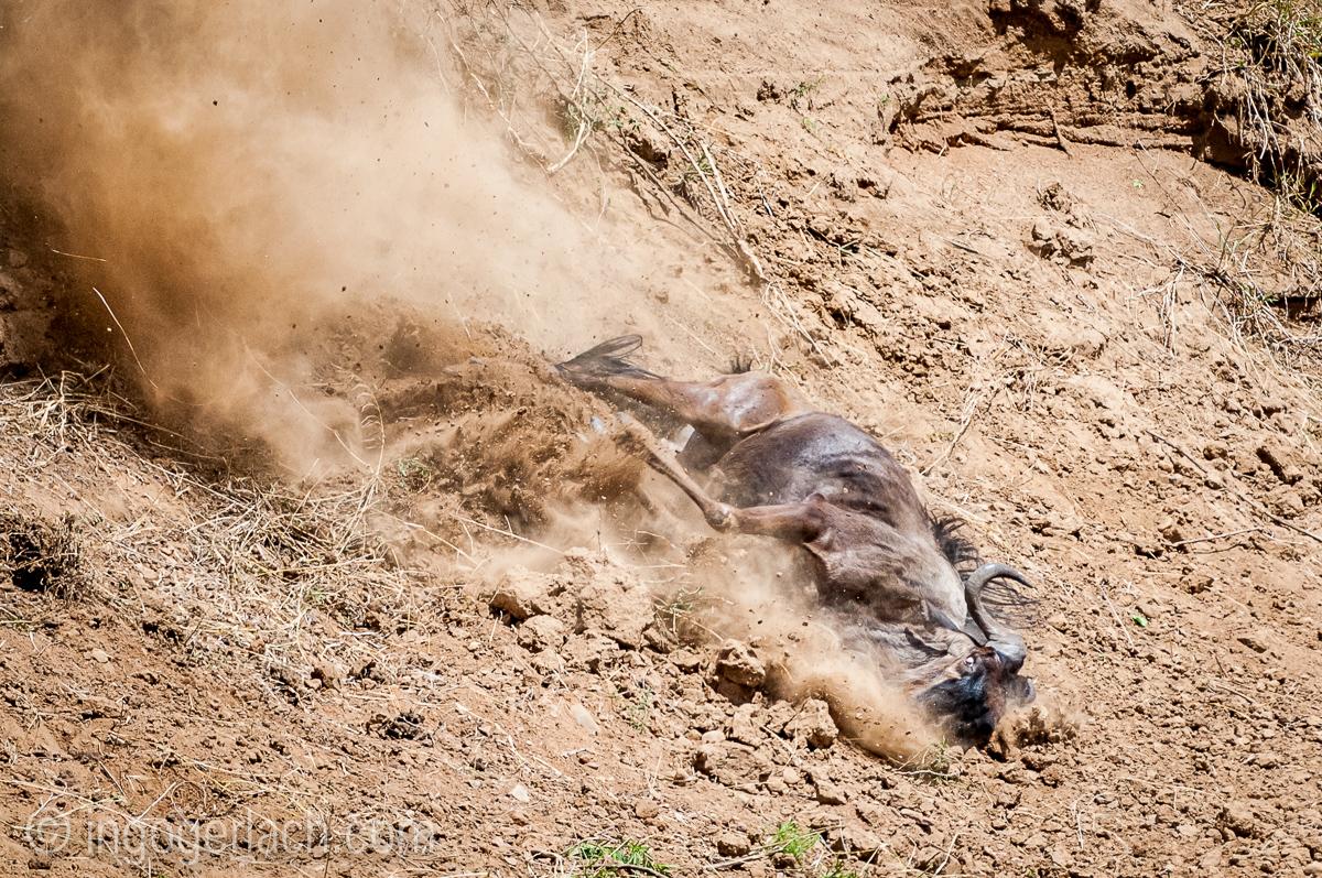 Gnu | Wildebeest_IWG4393-2