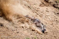 Gnu   Wildebeest_IWG4393-2