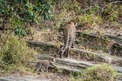 Mama Leopard mit ihren Babys_IG35731