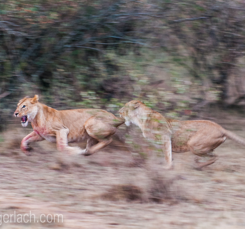 Löwin attackiert Löwin_IGB2604