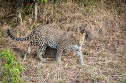 Mama Leopard mit ihren Babys_IG35647