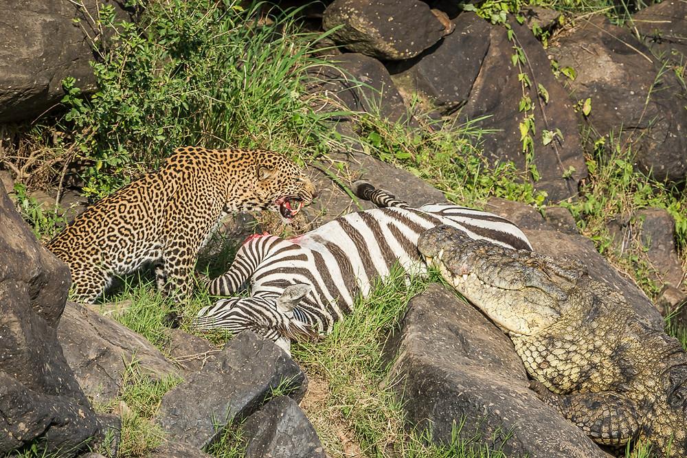 Leopard und Krokodil am erlegten Zebra. Foto Ingo Gerlach