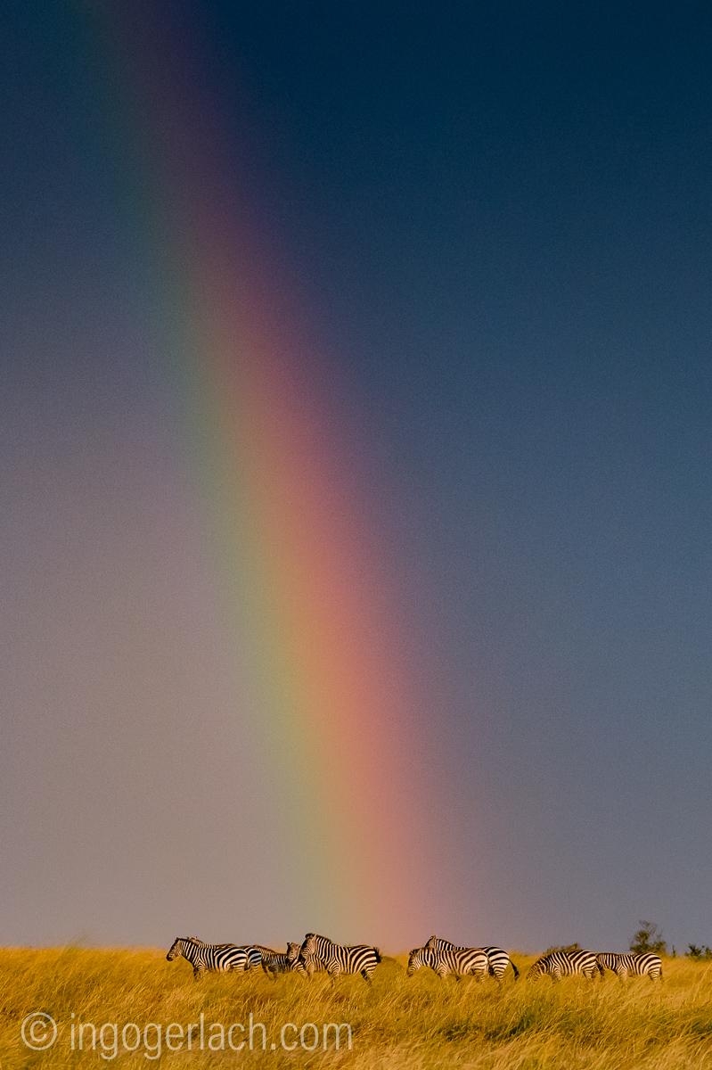 Over the Rainbow_Zebra_D4N_5231