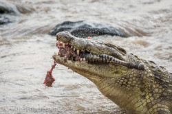 Krokodil frisst Zebra_D726800