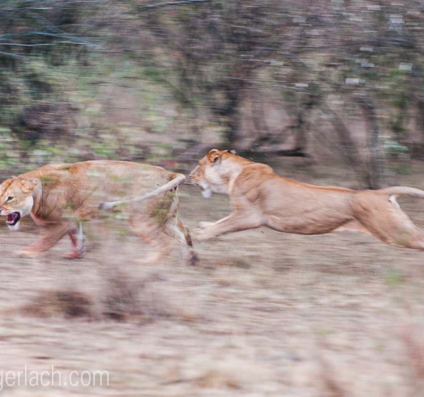 Löwin attackiert Löwin_IGB2603