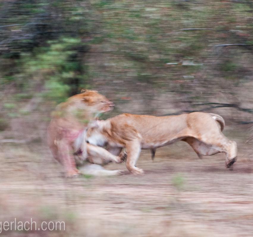 Löwin attackiert Löwin_IGB2608