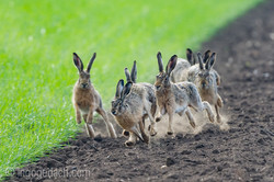 Hares in the Rut...