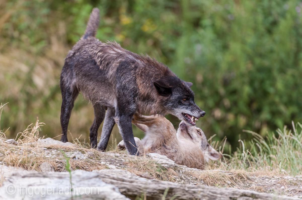 Timberwolf und Grauwolf_IGB8077