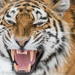 Sibirian Tiger...