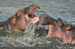 Hippos palavern_D3S7893