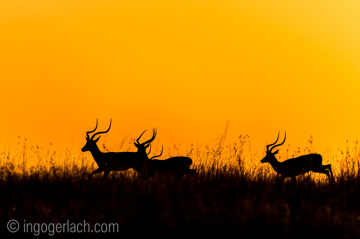 Impala at sunrise_D4N_2688