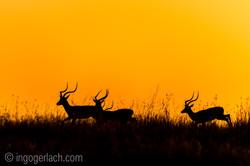 Impala at sunrise_D4N_2688